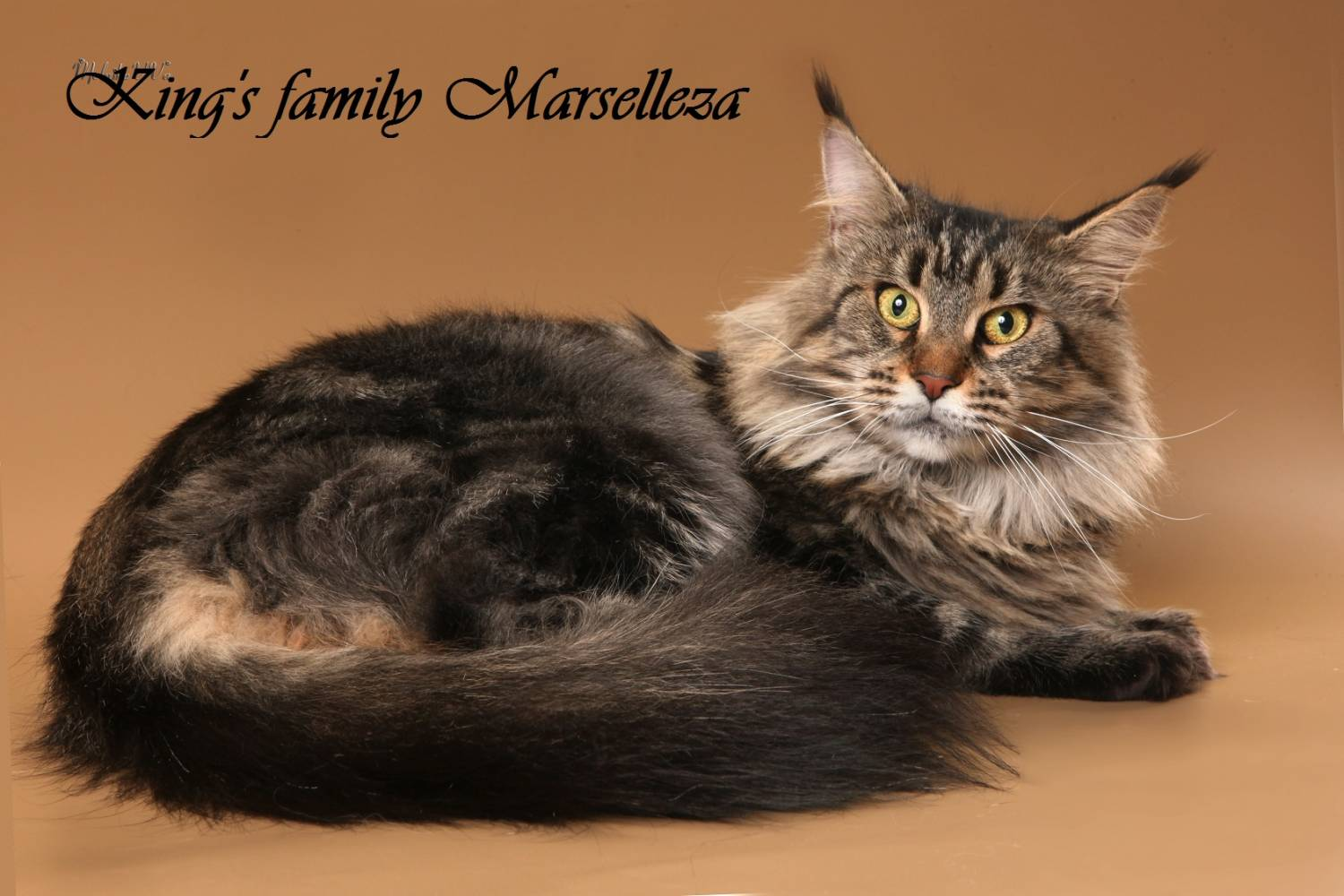 Purebred Cats For Sale